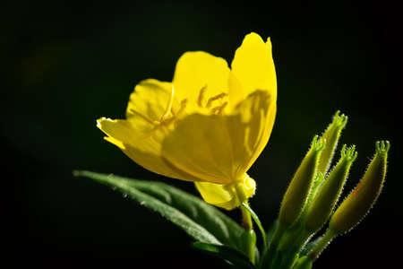 blooming yellow summer flowers on dark background 版權商用圖片