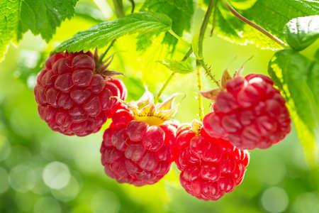 ripe raspberries in a garden on green background 版權商用圖片