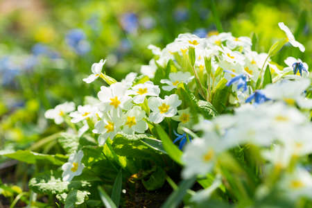 Spring flowers, bunch of blooming white primrose or primula flowers in a garden