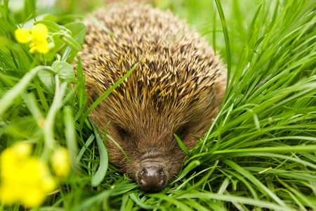 Hedgehog in grass Stock Photo
