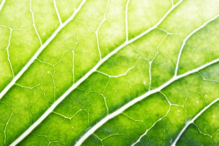 A cabbage leaf lit by the sun