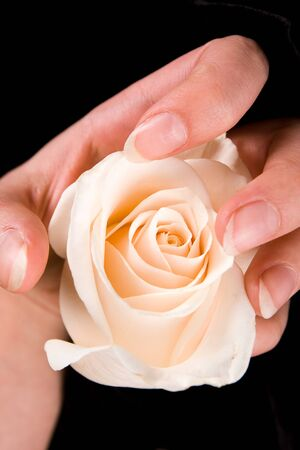 Beautiful white rose and hand Stock Photo