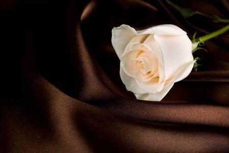 White rose on brown silk