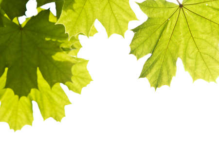 back-lit maple leafs isolated on white