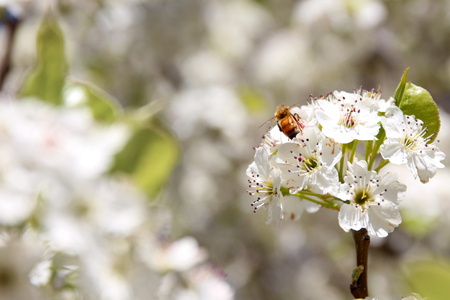 Bee sitting on white blossoms Stok Fotoğraf