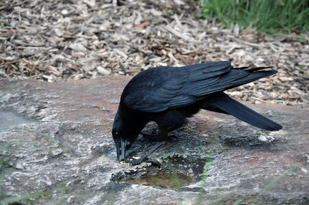 Crow eating on a rock Stock Photo - 81779446