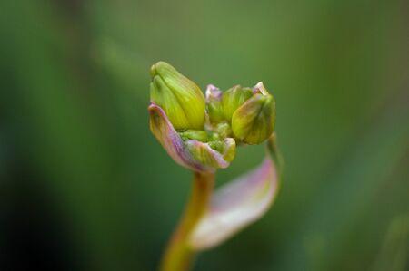 아직도 피어 나오지 않은 녹색 새싹의 매크로