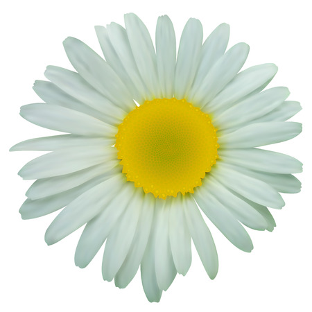 matricaria recutita: Daisy chamomile flowers. Vector illustration isolated on white