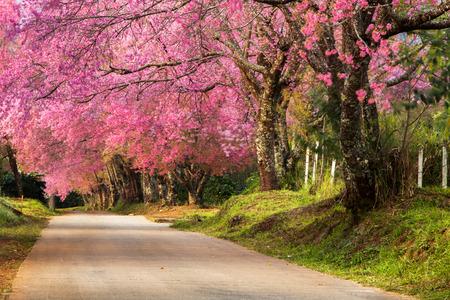 arbol de cerezo: Los cerezos en flor rosa en la mañana