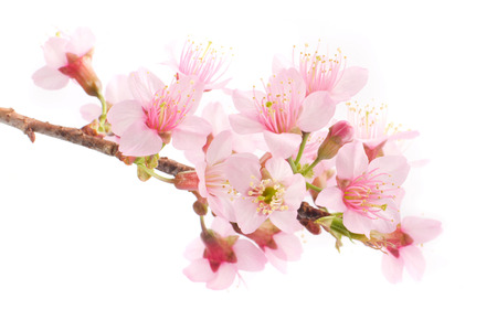 Cherry blossom on white background.