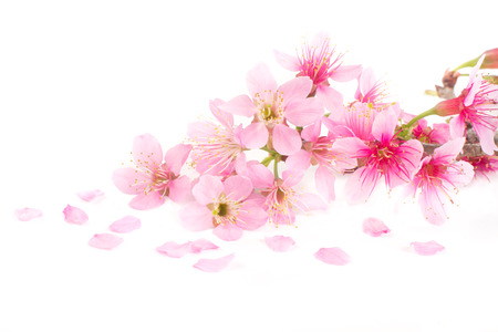 Pink Cherry blossom, sakura flowers on white background Stock Photo