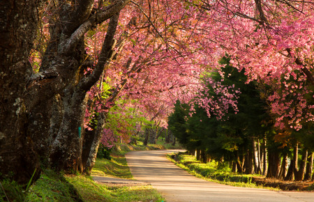 Cherry blossom in the morning at Khun Wang, Chiang Mai, Thailand.