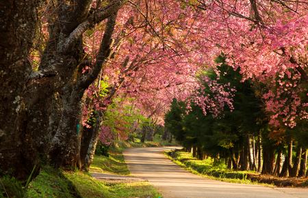 Cherry blossom in the morning at Khun Wang, Chiang Mai, Thailand.