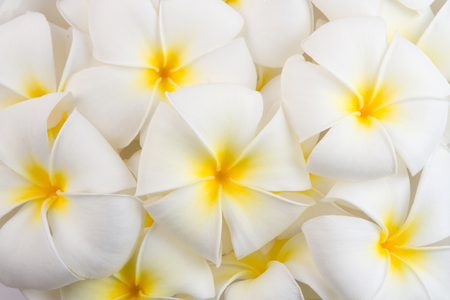 plumeria on a white background: Frangipani Spa Flowers background