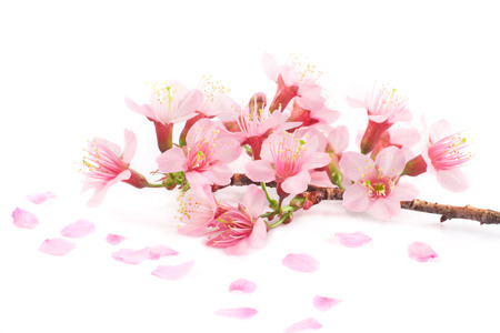Pink cherry blossom on white background