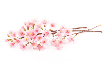 white blossom: pink cherry blossom sakura flower on white background.