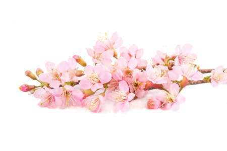 beautiful pink sakura flowers isolated white background.
