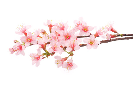 white blossom: Pink Sakura flowers isolated.
