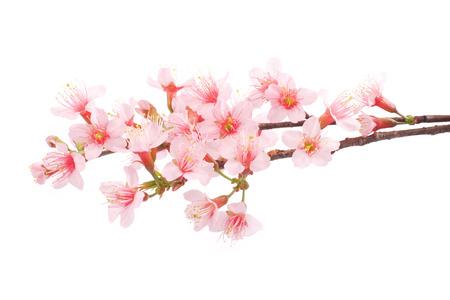 cherry branch: Pink Sakura flowers isolated.