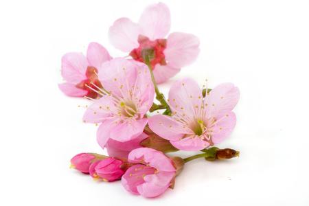 sakura flowers isolated white backgrond 写真素材