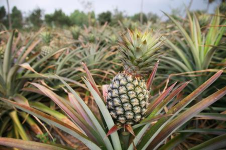 Fresh pineapple on tree