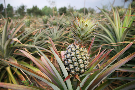 Fresh pineapple on tree