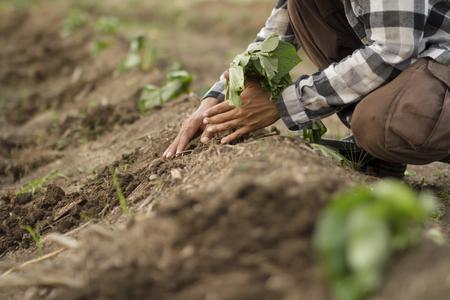 農家の耕作地でサツマイモを植える
