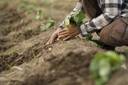 Farmer planting sweet potato in cultivated land