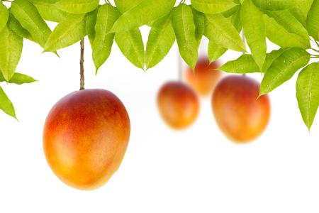 Mango fruits hanging on tree isolated white background
