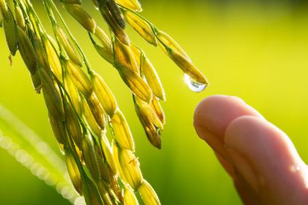 Młodzi niełuskanego ryżu z kroplówki wody i rolnik ręcznie na polach Zdjęcie Seryjne