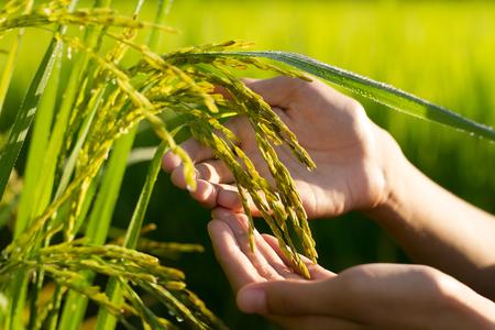 농부는 쌀쌀한 쌀을 농장에서 부드럽게 만져서 쌀을 검사하고있다. 스톡 콘텐츠 - 87490542