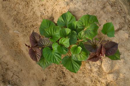 Sweet potato plant in nursery plant
