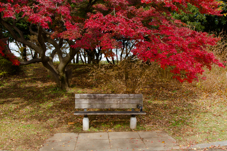Autumn leaves red maple at japan with wood chair