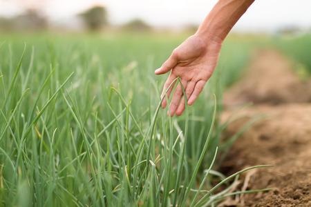 Landwirt überprüfen seine Erntepflanzengesundheit durch das Prüfungspflanzenblatt und suchen nach Insektenschädlingen am Bauernhof morgens