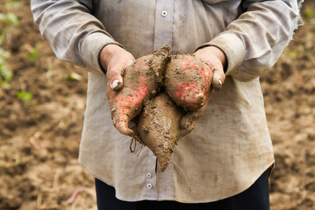Fresh Sweet potato in farmer hand, Organic product from plant growing at farm for health