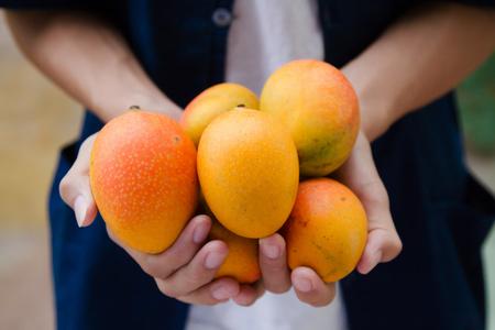 Fresh mango fruit on farmer's cupped hand 版權商用圖片