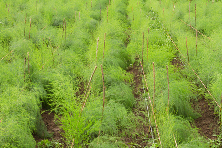 Asparagus grow in organic farm. Very Fresh product grow on soil at biological farm land.