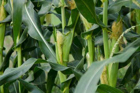 Corn plant grow in farmland