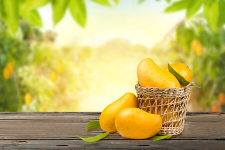 Mango tropical fruit in basket and leaf put on old vintage wooden table with Mango tree in the farm on background