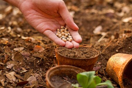 Hand Sowing A Seed Into A Pot At Backyard Home Garden Stock Photo