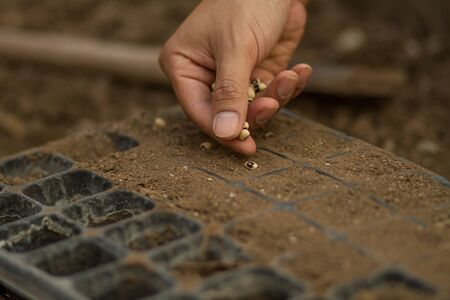 Hand of farmer sowing a vegetable seed on good health soil in a try at plant nursery farm.