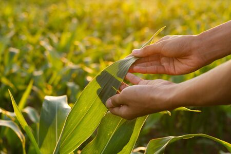 Hand of expert farmer checking health of corn plant from the leaf, Bio and organic farming and agriculture, marking a clean and safe product for customer concept.