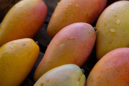 Fresh ripe mango tropical fruit just harvest from organic farm.