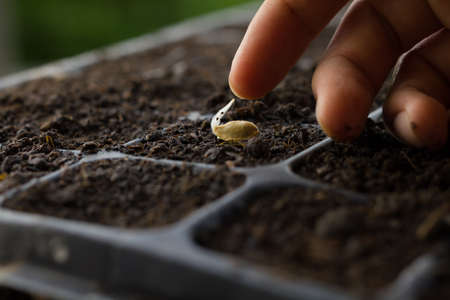 Sowing seed, Hand of expert farmer greeting his seedling of vegetable that grow in nursery pot with black healthy soil at home garden. Vegetable gardening, Planting a flower and tree concept.