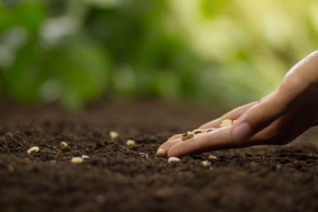 Hand growing seed of vegetable on soil, sowing seed and vegetable garden concept.