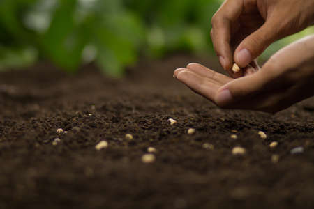 Farmer hand sowing seeds of vegetable on soil at home garden.