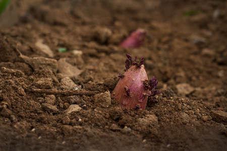 Sweet potato grow on soil at vegetable garden