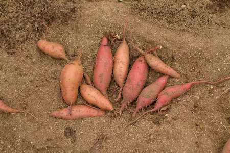 Sweet potato product just harvest prepare for sale on winter 스톡 콘텐츠