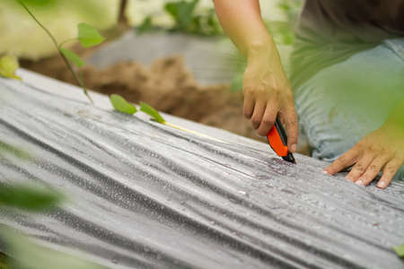 Professional farmer cutting plastic mulching film, prepare for grow melon or vegetable in greenhouse for making a high quality of product