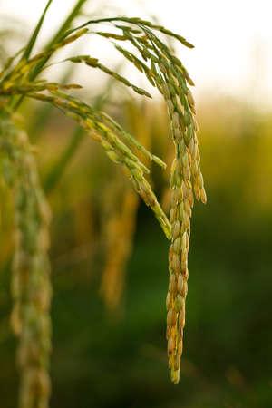 Paddy rice ear at farm